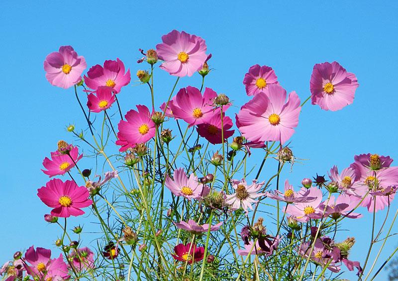 151012花の国コスモス1