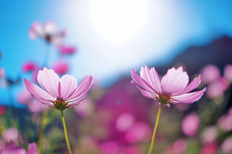 151012花の国コスモス2