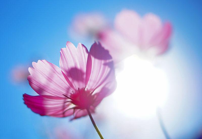 151012花の国コスモス3
