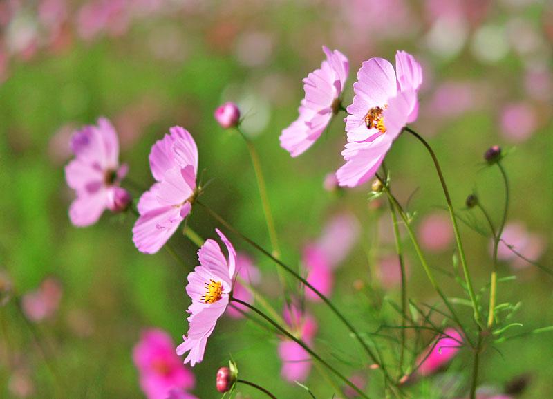 151012花の国コスモス4