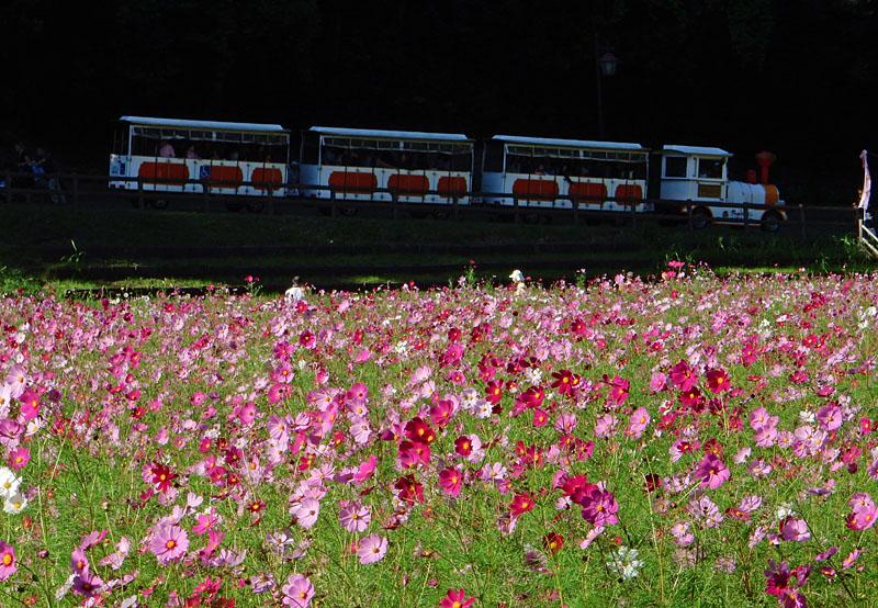 151012花の国コスモス5