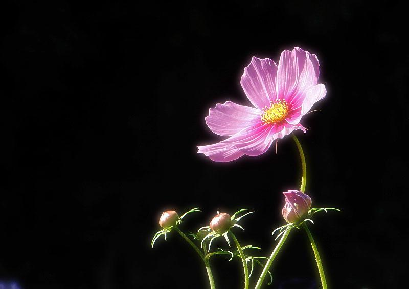 151012花の国コスモス8
