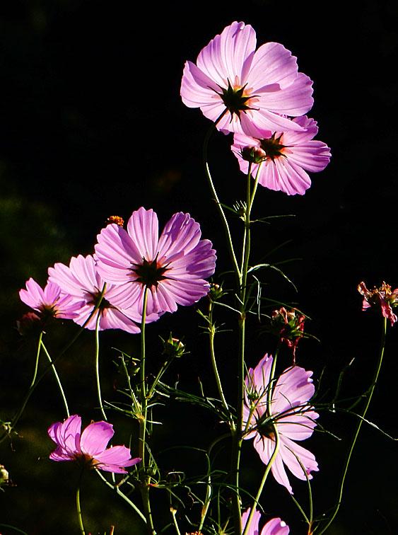151012花の国コスモス7