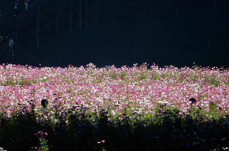 151012花の国コスモス6