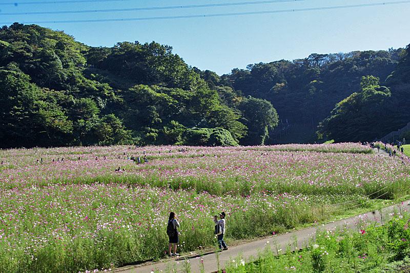 151012花の国コスモス9