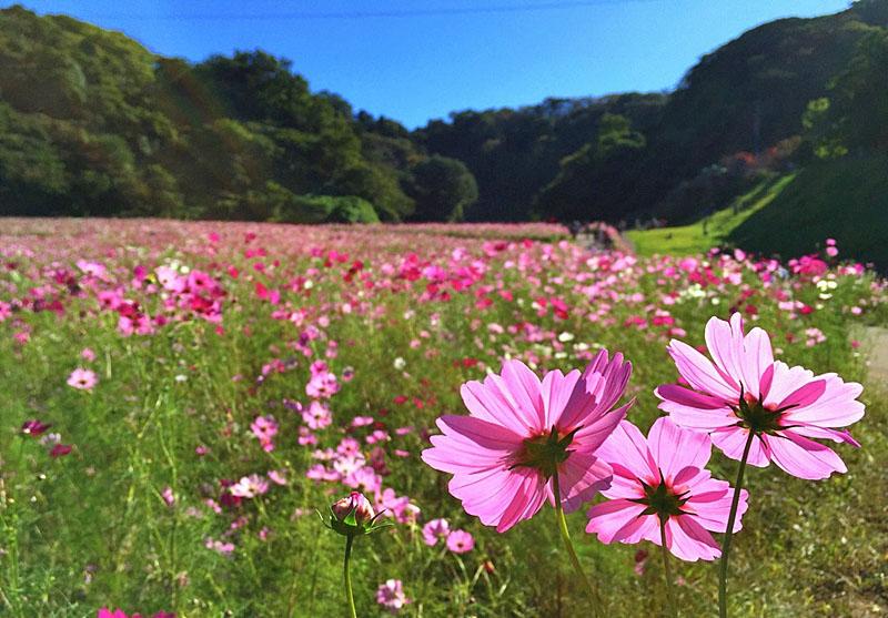 151012花の国コスモス10