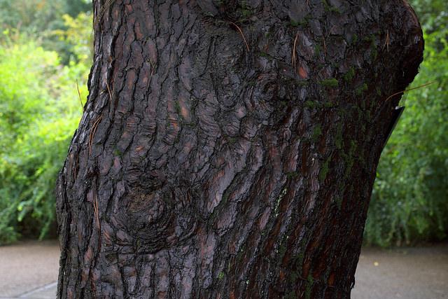 再建樹木派002アカマツ