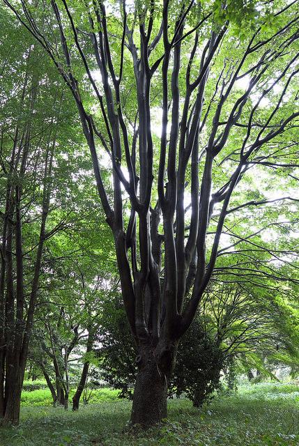 再建樹木派004ケヤキ?