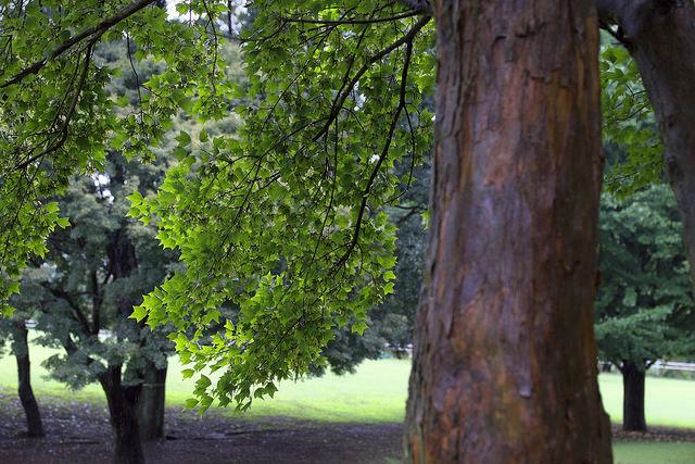 再建樹木派005トウカエデ