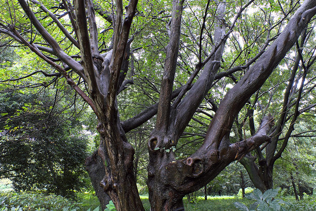 再建樹木派009エゴノキ
