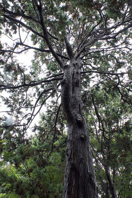 再建樹木派013ヒムロ