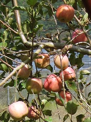 2015_1017リンゴを狩りに0011