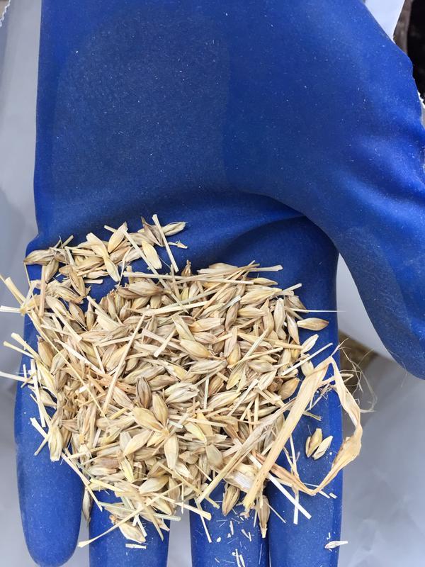 両手でもみみ大麦
