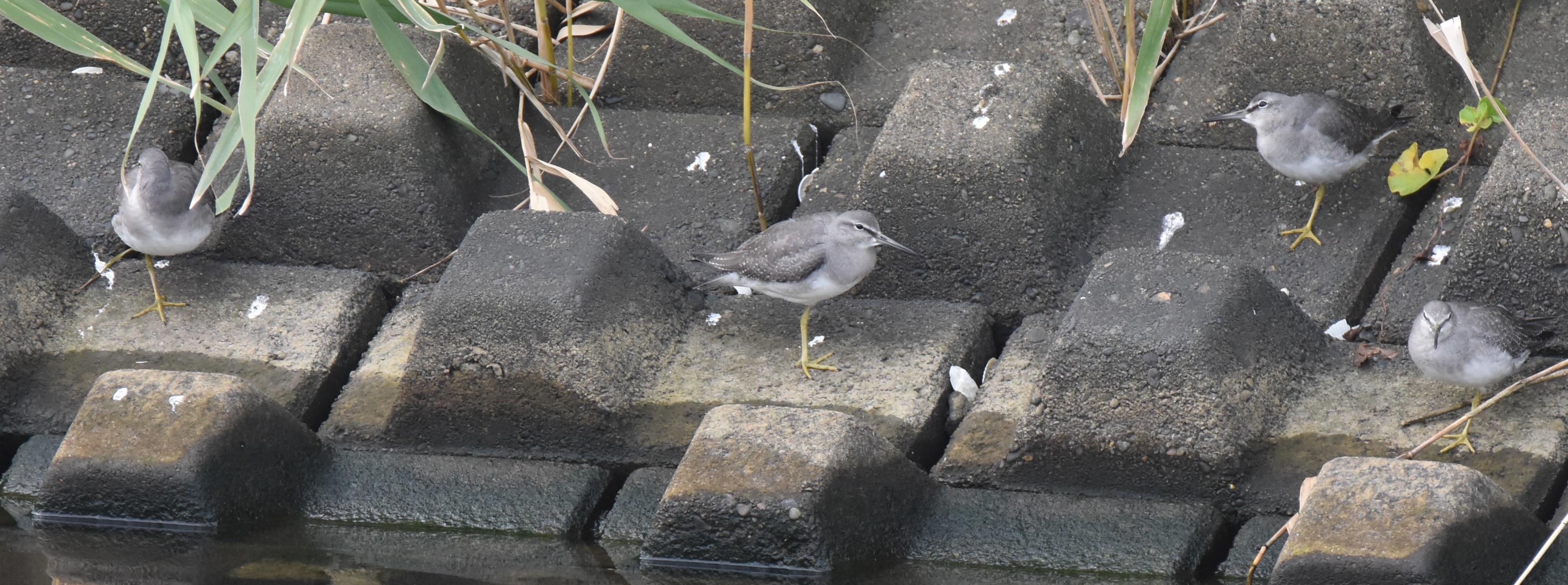 キアシシギ