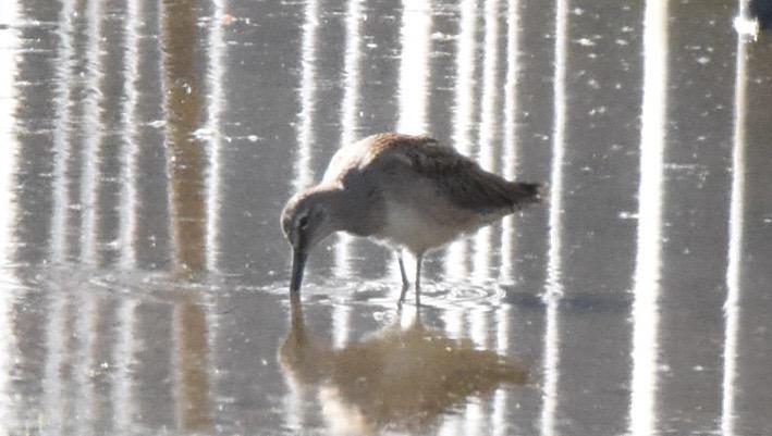 オオハシシギ幼鳥4