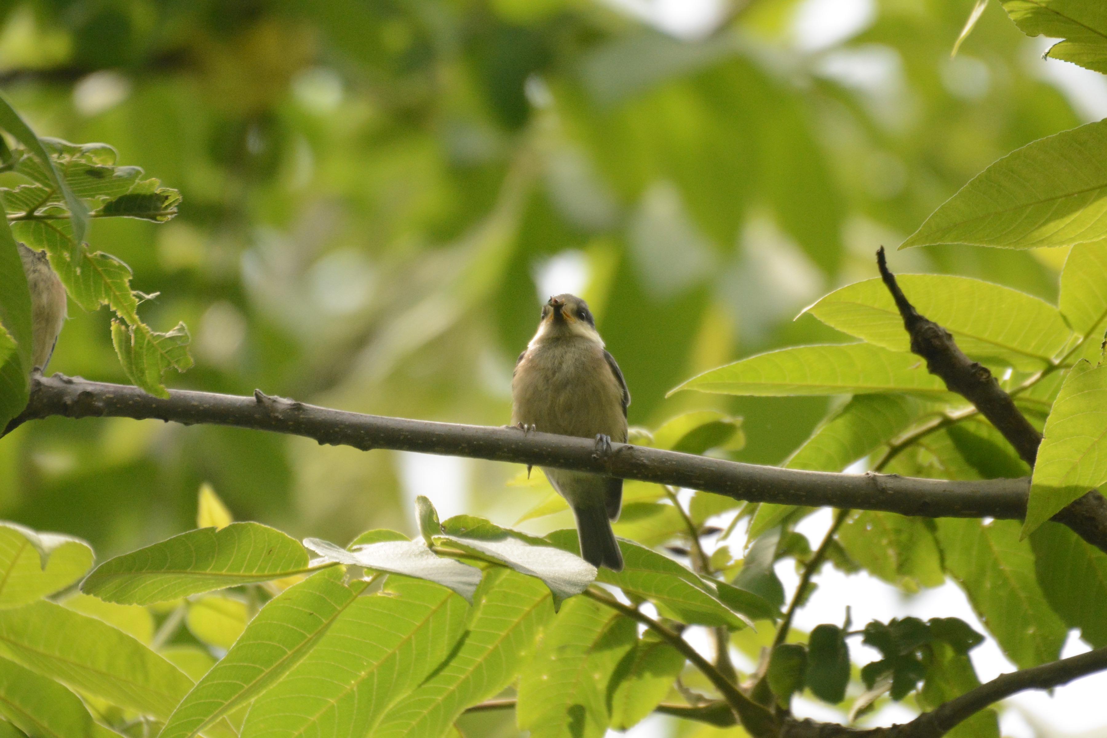 親から餌をもらうヤマガラ幼鳥2