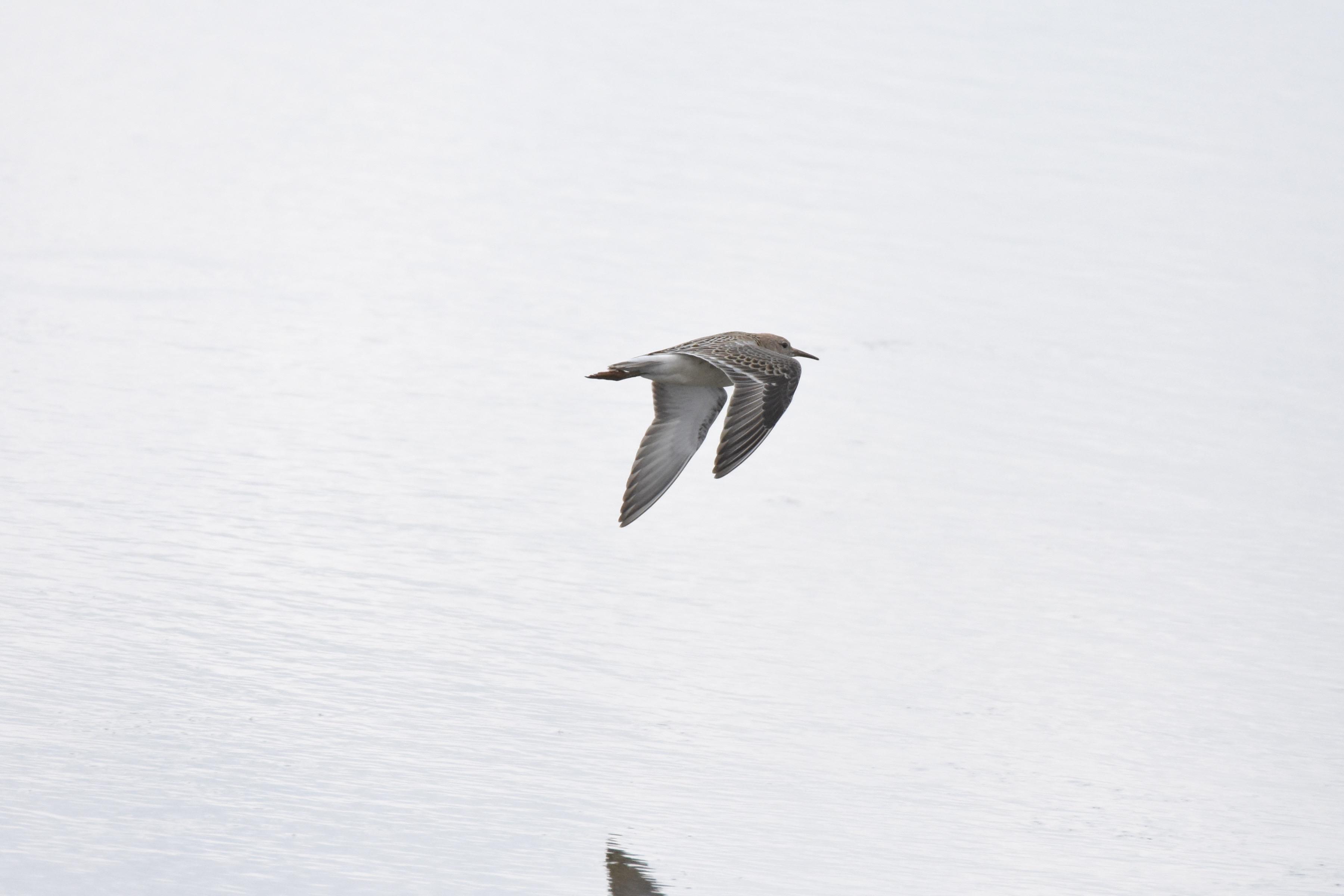 エリマキシギ 飛翔
