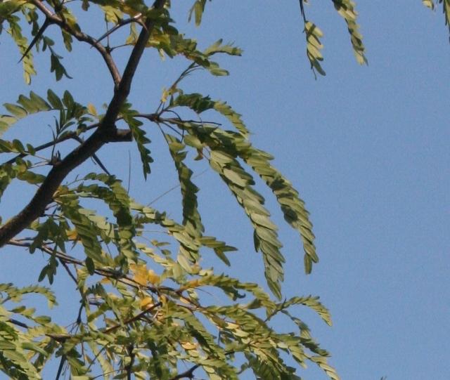 IMG_9275 サイカチの葉 (640x541)