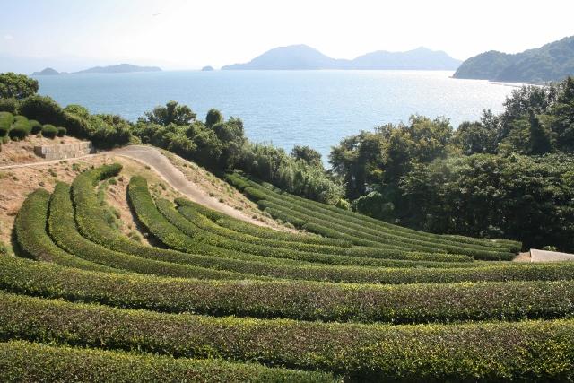 IMG_0019 茶畑(640x427)