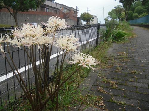 白い彼岸花も。