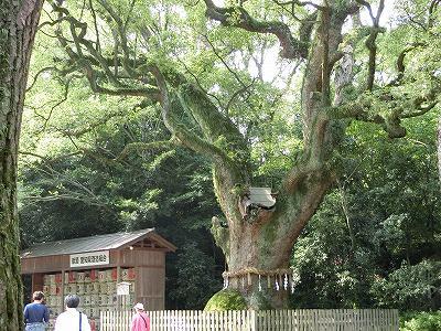 熱田 大楠の木