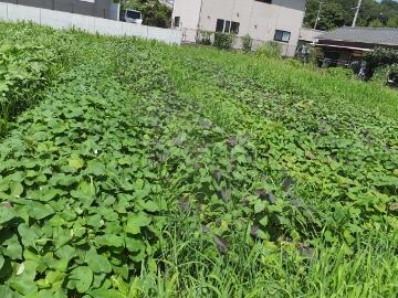 芋畑の草2