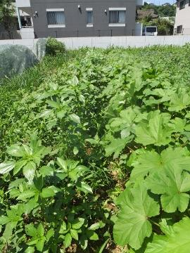 芋畑の草3