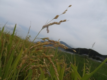 稲刈り強行突破4