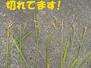 稲刈り強行突破5