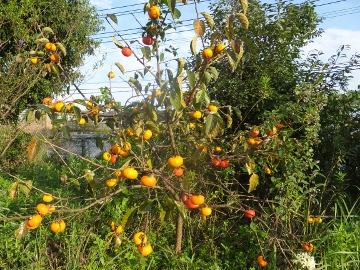 トネ柿いっぱい生った2