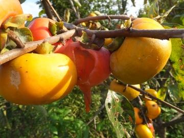 トネ柿いっぱい生った3