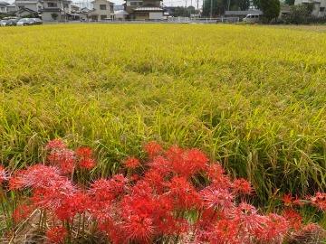 稲刈りれんげ米を2