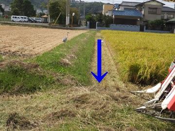 稲刈りれんげ米を4