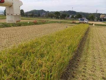 稲刈りれんげ米を6