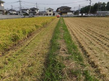 稲刈りれんげ米を7