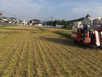 稲刈りれんげ米を9