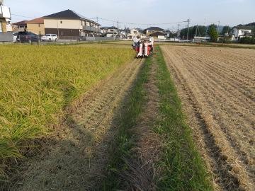 稲刈りれんげ米を10