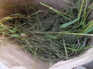 稲刈りれんげ米を11