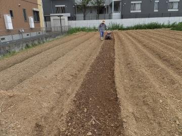雨の前にキャベツ苗植え6