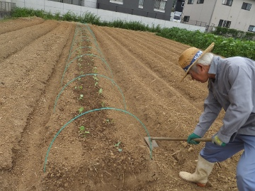 雨の前にキャベツ苗植え10
