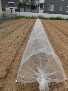 雨の前にキャベツ苗植え11