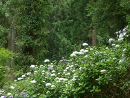皿ヶ嶺 紫陽花