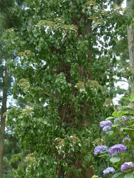 皿ヶ嶺 紫陽花 と ツルアジサイ