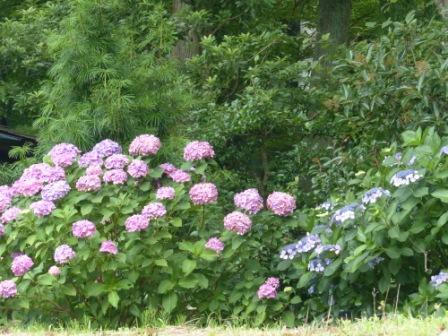 風穴へ行く道に咲いていた紫陽花 1