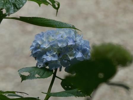 高縄山 紫陽花 2