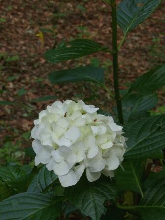 高縄山 紫陽花 3
