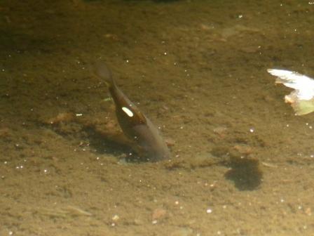 浄瑠璃寺 小さな池の魚 2