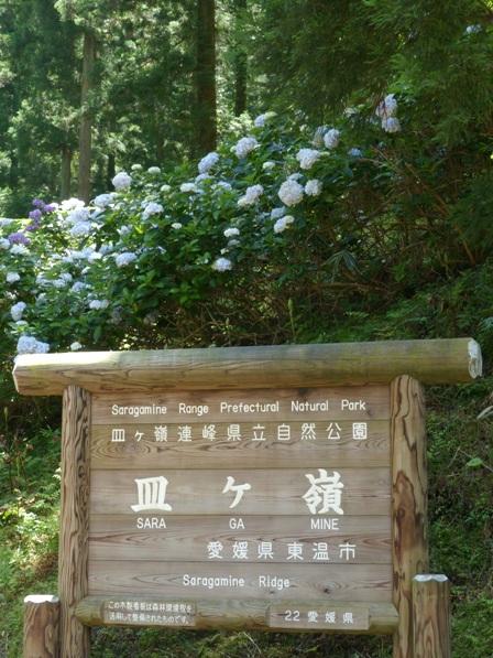 皿ヶ嶺・風穴 紫陽花 2