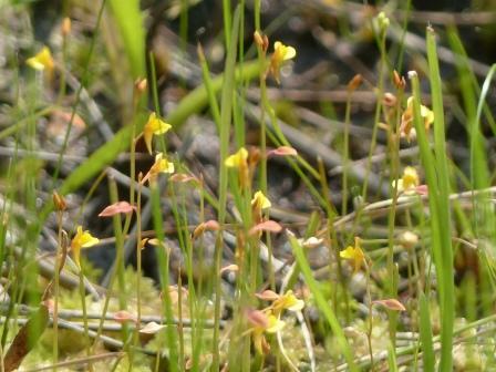 黒沢湿原 ミミカキグサ 3