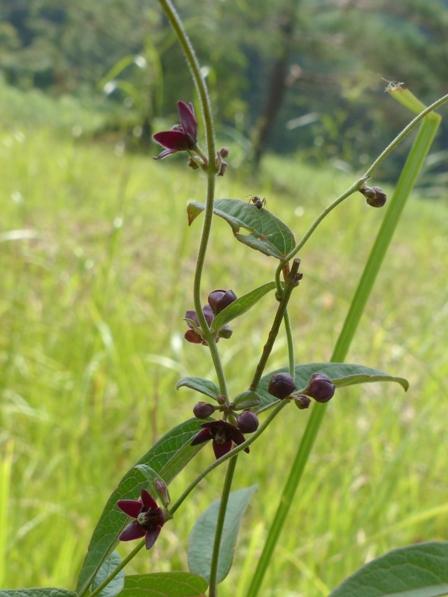 黒沢湿原 タチカモメヅル 2